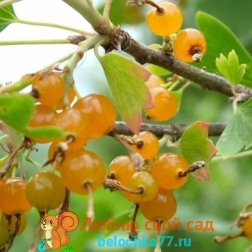 Смородина золотистая: сорта, описание выращивания и размножения. 90 фото ухода и обрезки смородины