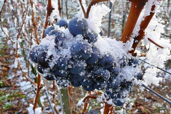 4 способа зимнего укрытия лозы молодого виноградника