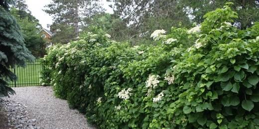Гортензия вьющаяся (черешковая, hydrangea petiolaris): посадка и уход - rus-womens