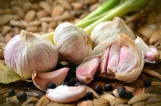 Озимый чеснок: посадка и уход в открытом грунте, основные приемы агротехники