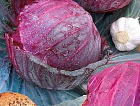 Описание капусты лангедейкер - мыдачники