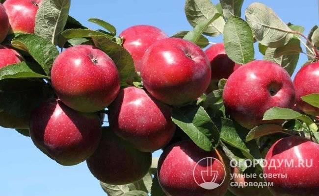 Описание и технология выращивания яблони сорта июльское черненко