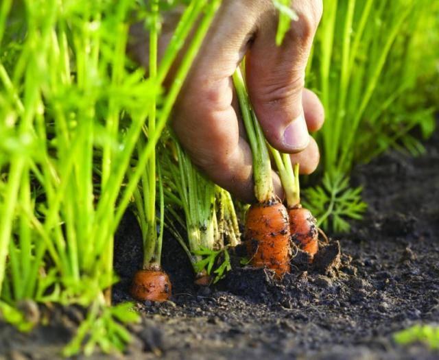 Посадка моркови на грядках под зиму — как правильно сажать
