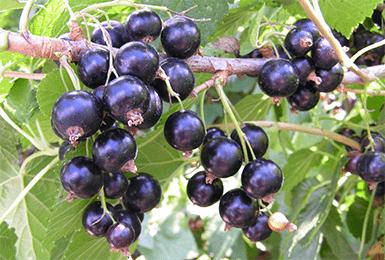 Черная смородина багира
