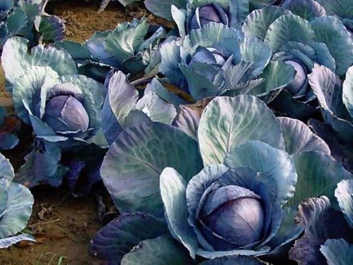 Почему у капусты фиолетовые листья