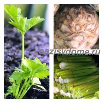 Сельдерей корневой: как правильно посеять (посадить) и вырастить рассаду