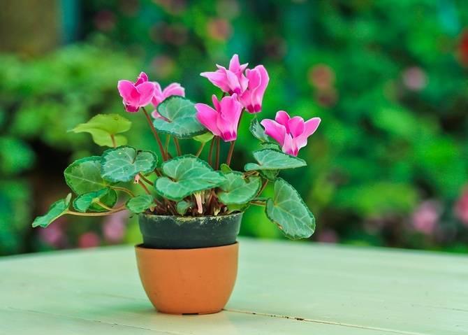 Как поливать цикламен? 14 фото как часто осуществлять полив в домашних условиях? как правильно и чем надо поливать во время цветения?