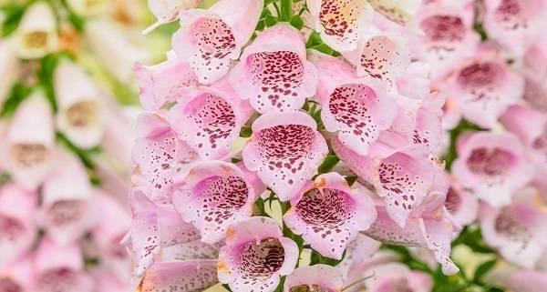 Наперстянка: выращивание из семян, виды и сорта