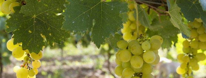 Гибридные формы винограда селекции е.г павловского