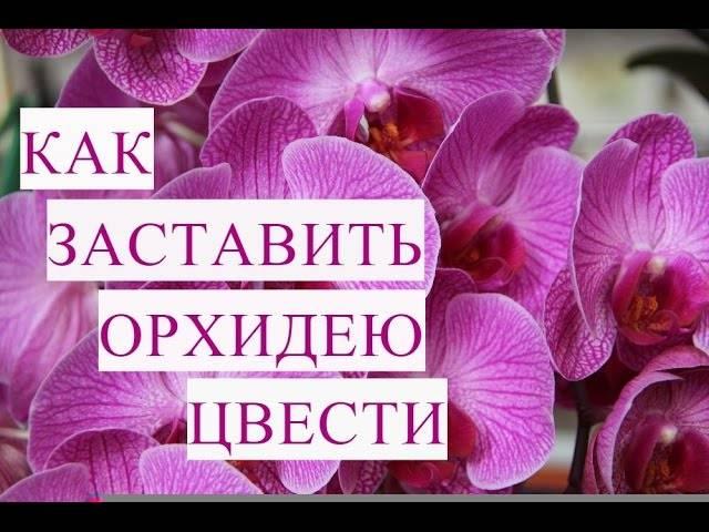 Как заставить цвести орхидею повторно в домашних условиях - 2 способа стимуляции цветения