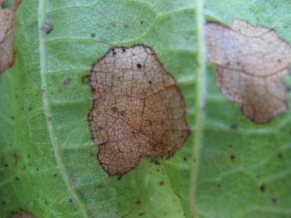 Чем лечить антракноз на виноградаре: препараты для обработки (защиты и лечения)