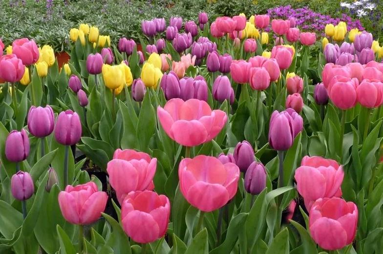 Посадка тюльпанов осенью – когда и как проводят работы в регионах
