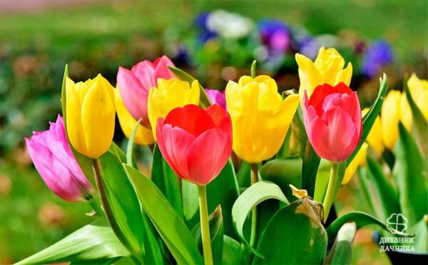 Тюльпаны сорт пломбир - меровед