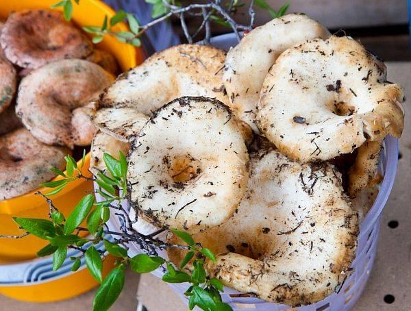Съедобные грибы приморского края