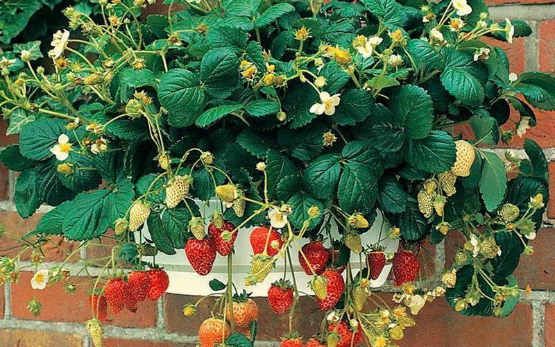 Ампельная клубника и земляника: уход и выращивание в горшках, популярные сорта