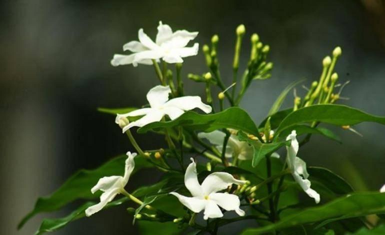 Как размножить жасмин: способы черенкования кустарника, правильный уход за комнатным чубушником