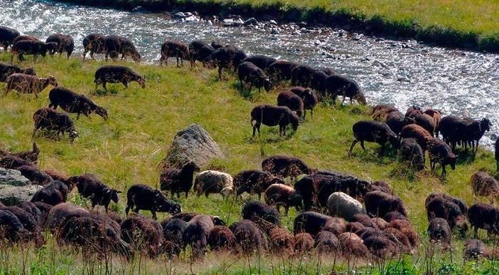 Карачаевская порода овец: описание, характеристики и фото