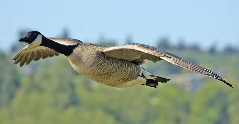 Губернаторские гуси: характеристика, описание породы, вес | птичник club