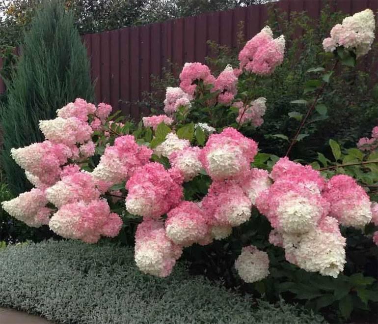 Лучшие сорта гортензии метельчатой для подмосковья   красивый дом и сад