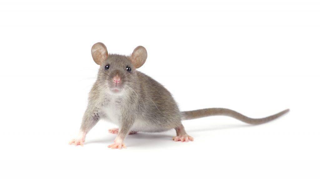 Как избавиться от крыс в курятнике: навсегда, народные средства, способы борьбы