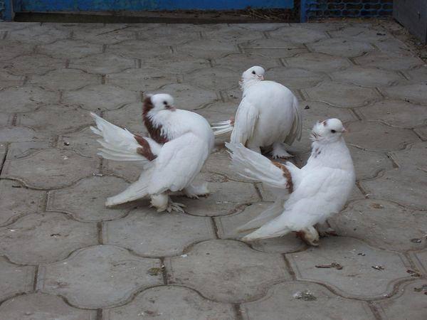 Порода Статные голуби