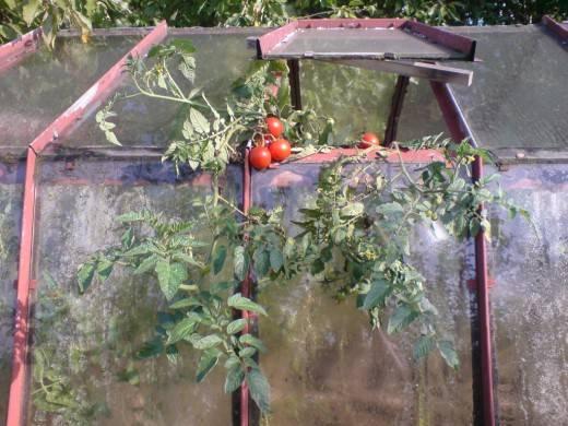 Первая подкормка томатов после высадки в теплицу: пошагово