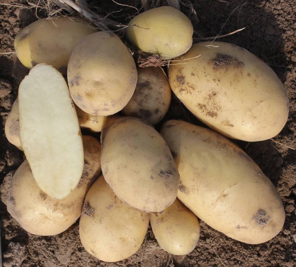 Картофель артемис: описание сорта, фото, характеристика русский фермер