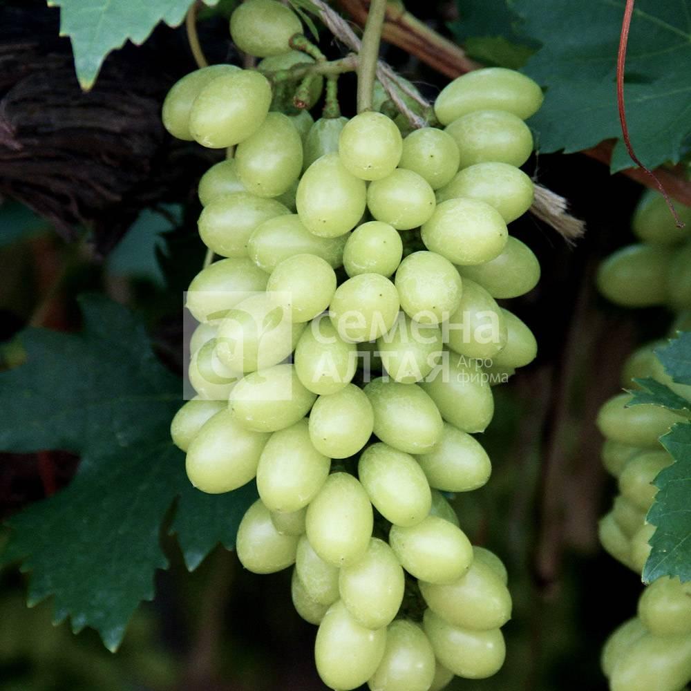 """Виноград """"белое чудо"""": описание сорта, фото, отзывы"""
