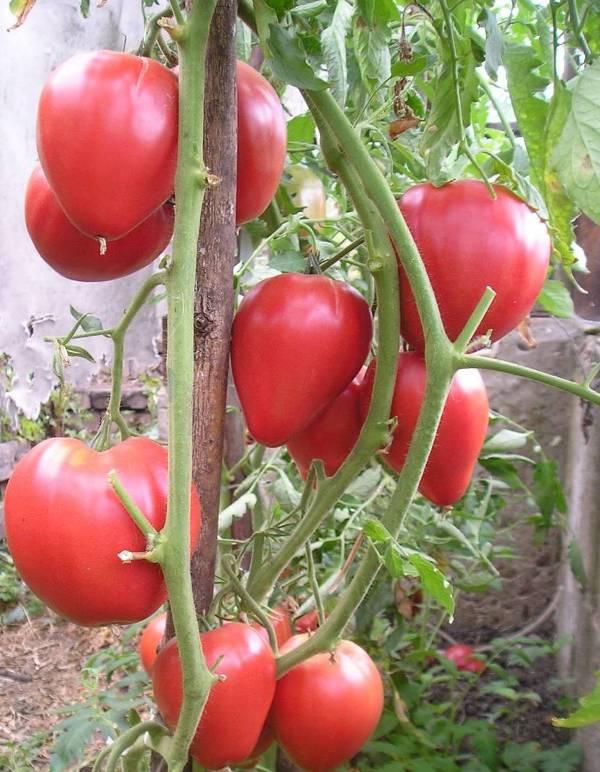 """Томат """"орлиный клюв"""": характеристика и описание, урожайность, отзывы, фото"""