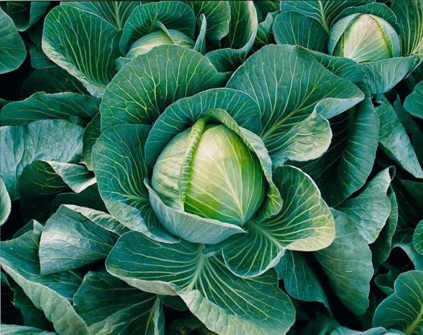 Капуста бухарест f1: описание и характеристика голландского сорта, фото семян и отзывы об урожайности