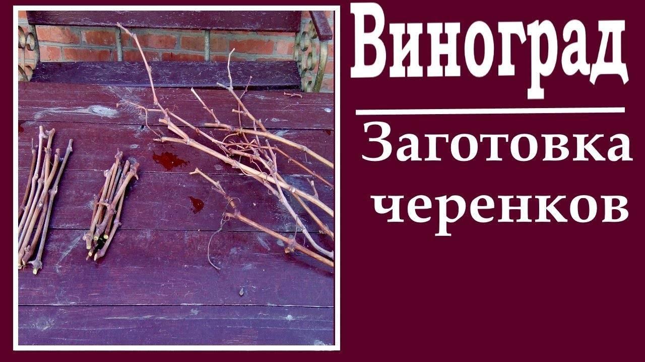 Как вырастить черенки винограда зимой в домашних условиях (фото, видео)