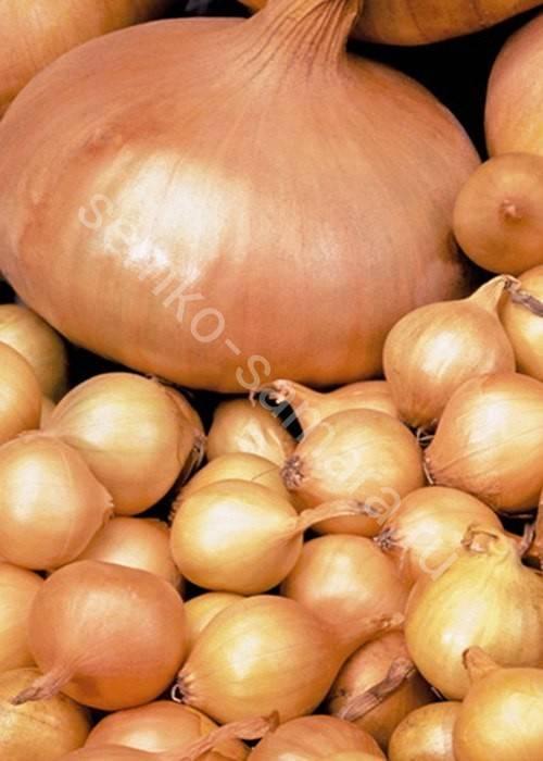 Неприхотливый и устойчивый гибрид лука «стардаст» высокоурожайный даже при минимальном уходе