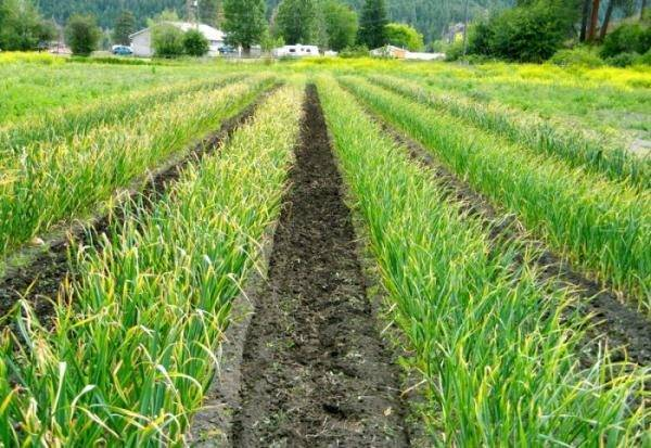 Выращивание чеснока как бизнес: рентабельность, сколько можно заработать, выгодно ли возделывать на продажу в больших масштабах, а также технология ухода