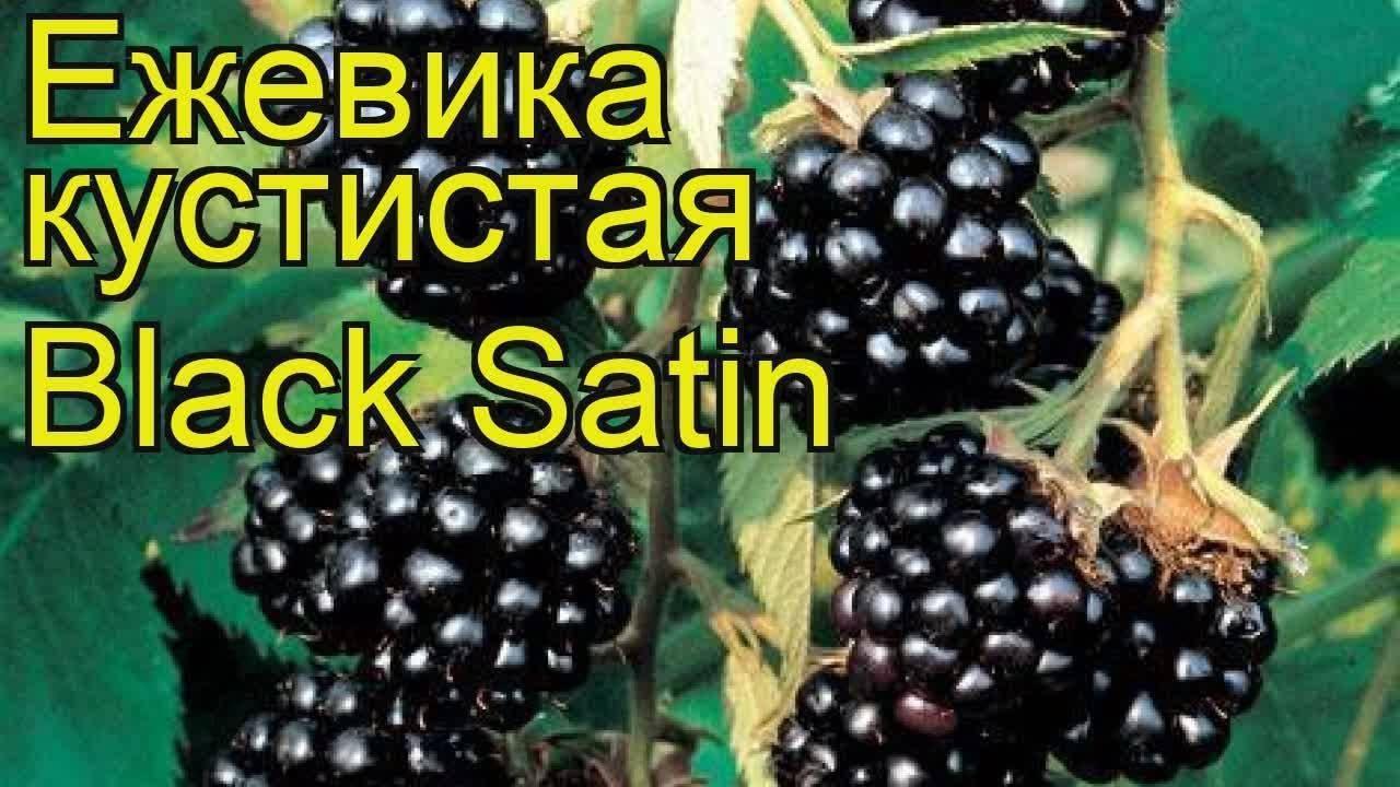 Ежевика блэк сатин - отзывы садоводов, описание сорта, посадка и уход