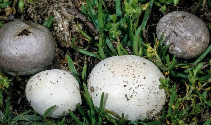 Вкусный рецепт, как жарить грибы синявки с картошкой, чтобы не горчили