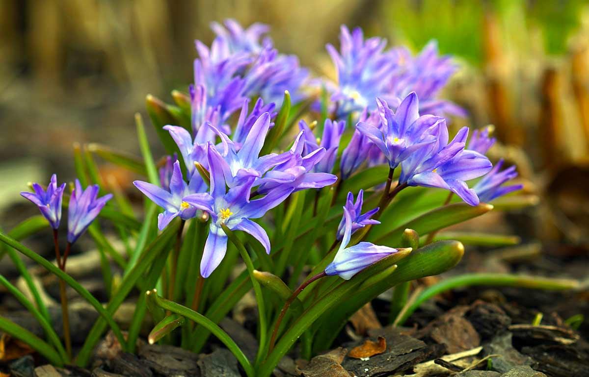 Пролеска / сцилла: выращивание в саду, виды и сорта