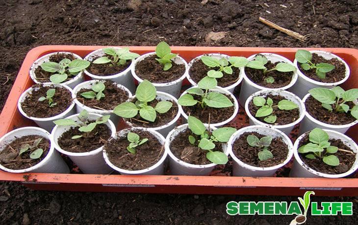 Вырастить картофель рассадой в 2021 – это просто!