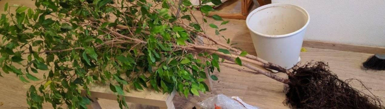 Уход за фикусом бенджамина зимой в домашних условиях: правила полива. почему осыпается и чем подкормить фикус? можно ли пересаживать фикус?