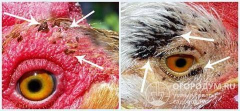 Лечение кур от клеща: борьба и профилактика