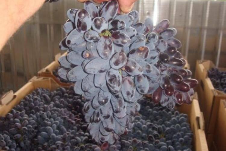 Виноград юпитер: описание и характеристики сорта, как посадить и ухаживать