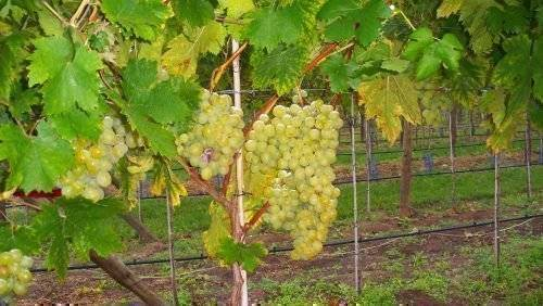 Виноград кеша описание, фото, отзывы: что нужно знать о нем, описание сорта, отзывы
