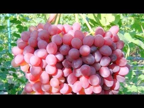 Виноград «велес»: описание сорта, фото, отзывы