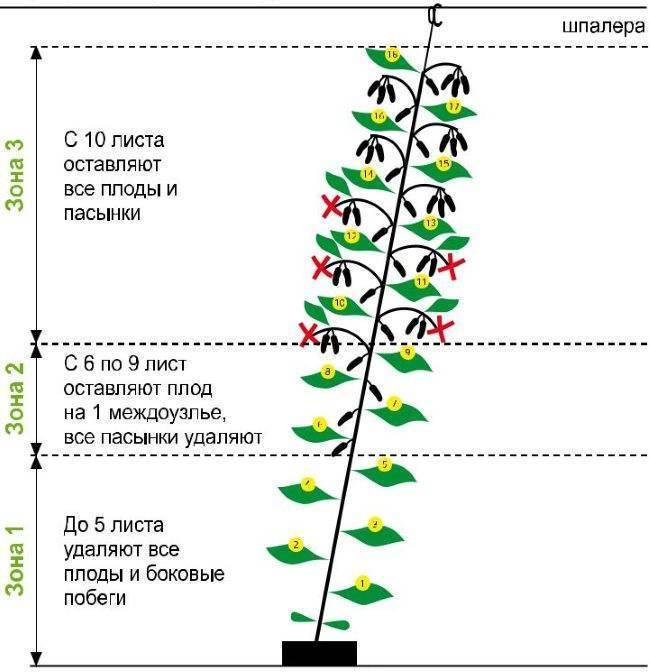 Формирование огурцов в теплице. схемы формировки, подвязка и пасынкование