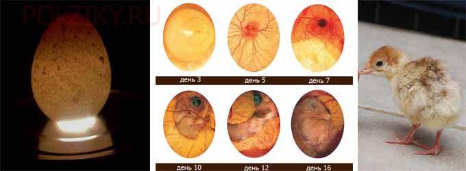Овоскопирование индюшиных яиц по дням во время инкубации: когда и как правильно делать проверку