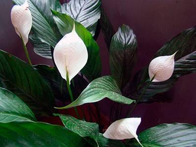 Все о цветении спатифиллума. обзор разновидностей: каких оттенков бывают бутоны у «женского счастья»?