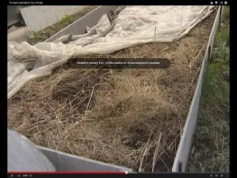 Посадка томатов по методу галины кизимы: советы по выращиванию с видео