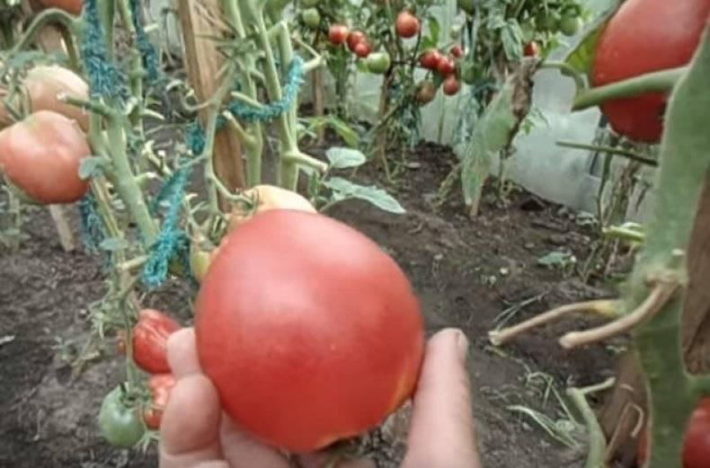 Томат настенька: характеристика и описание сорта сладких помидоров, фото и отзывы фермеров со стажем
