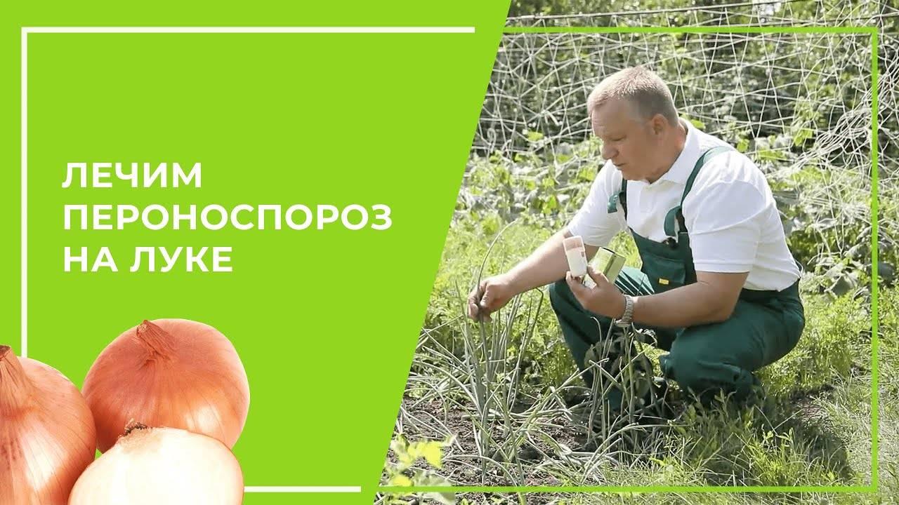 Пероноспороз лука и чеснока (ложная мучнистая роса) – причины, признаки и меры защиты