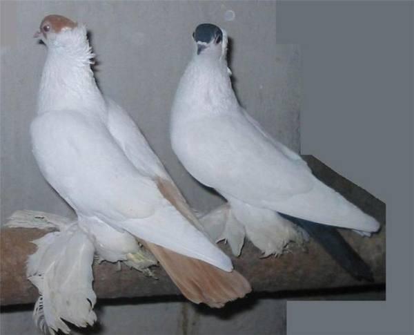 Немецкая порода голубей крестовые монахи