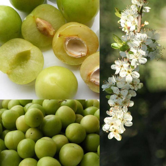 Слива ренклод колхозный — описание сорта, фото, отзывы садоводов
